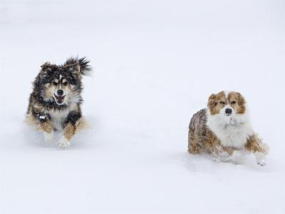 Female Red Merle and Red Tricolor Australian Shepherd Dogs Running in Snow, Longmont, Colorado, USA