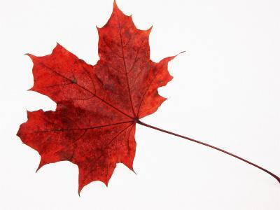 Norway Maple Leaf in Autumn Colours