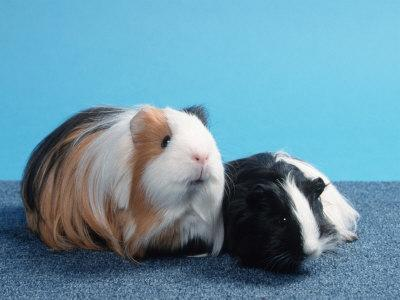 Sheltie Guinea Pig with Young