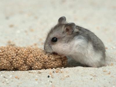 Young Dwarf Hamster Eating Millet