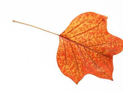 Tulip Tree Leaf in Autumn Colours