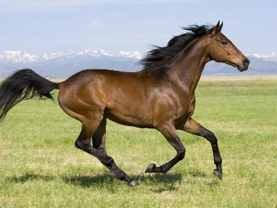 Bay Thoroughbred, Gelding, Cantering Profile, Longmont, Colorado, USA