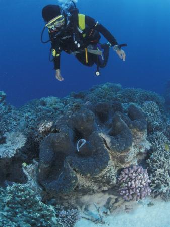 Diver and Giant Clam in Coral Reef, Great Barrier Reef, Australia