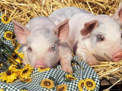 Two Domestic Piglets, Mixed-Breed