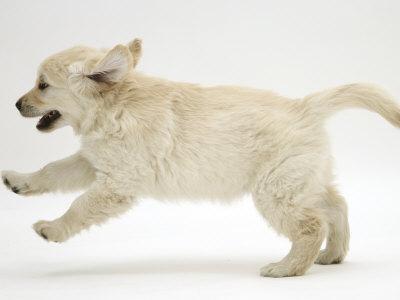 Golden Retriever Puppy, 9 Weeks Old, Running