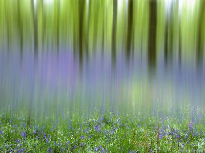 Bluebells in Beech Wood Abstract, Scotland, UK