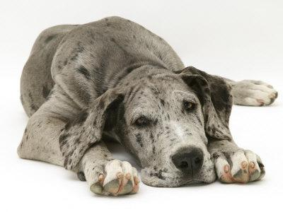 Blue Harlequin Great Dane Pup, 'Maisie', Lying with Chin on the Floor