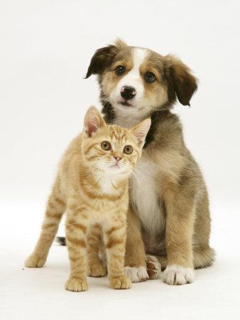 British Shorthair Red Tabby Kitten Sitting with Sable Border Collie Pup