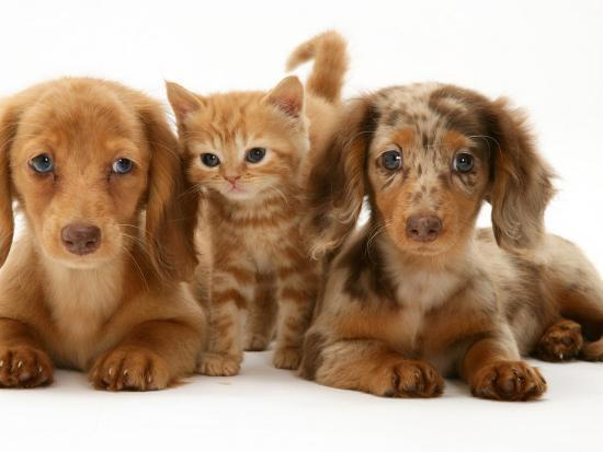 miniature long haired dachshund puppies with british shorthair red