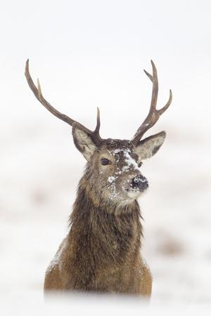 Red Deer Stag (Cervus Elaphus) Portrait in Snowy Moorland, Cairngorms Np, Scotland, UK, December