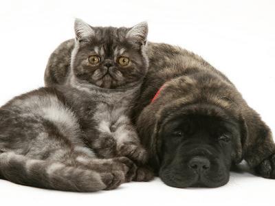 Smoke Exotic Kitten Curled up with Sleeping Brindle English Mastiff Puppy