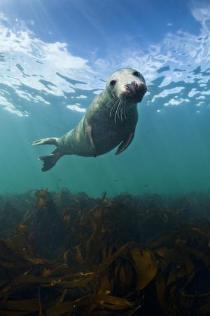 Grey Seal (Halichoerus Grypus) Portrait Underwater, Farne Islands, Northumberland, England, UK