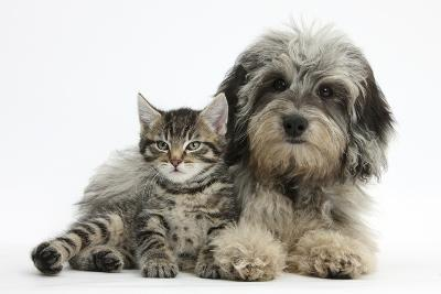 Tabby Kitten, Fosset, 8 Weeks Old, with Fluffy Black-And-Grey Daxie-Doodle Pup, Pebbles