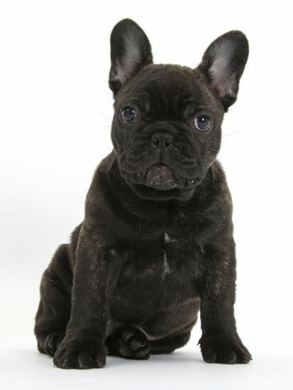 Dark Brindle French Bulldog Pup Bacchus 9 Weeks Old Sitting Photographic Print By Mark Taylor At Allposters