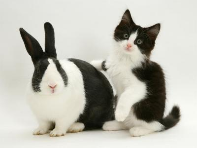 Black Dutch Rabbit with Black-And-White Kitten