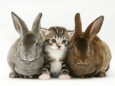 Tabby Kitten Between Two Rabbits