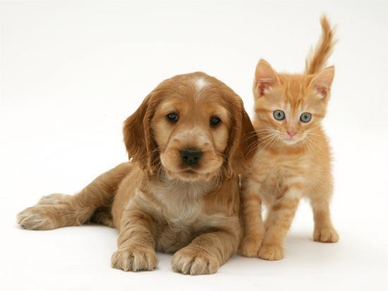 Golden Cocker Spaniel Puppy With British Shorthair Red