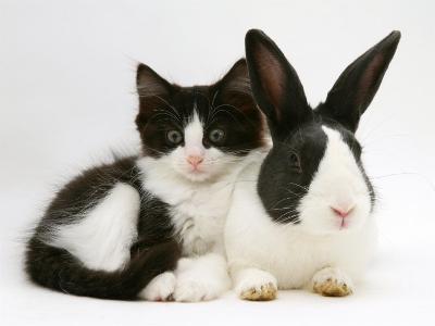 Black Dutch Rabbit with Black-And-White Kitten