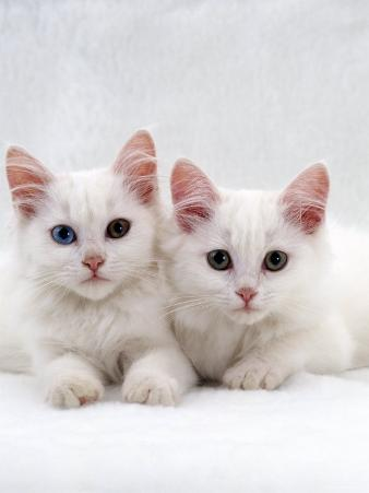 Domestic Cat, White Semi-Longhair Turkish Angora Kittens, One with Odd Eyes