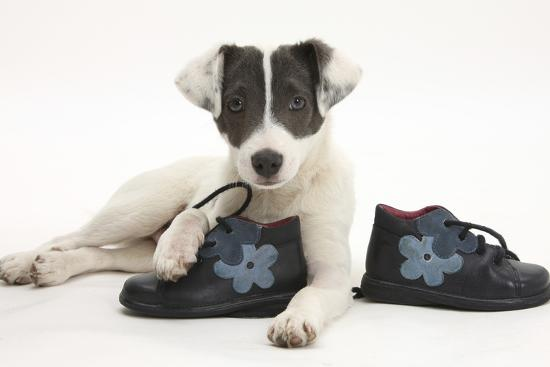 4a04ac41ede Blue-And-White Jack Russell Terrier Puppy