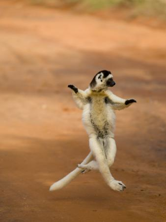 Verreaux's Sifaka 'Dancing', Berenty Private Reserve, South Madagascar
