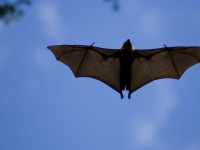 Madagascar Flying Fox Fruit Bat in Flight, Berenty Private Reserve, South Madagascar