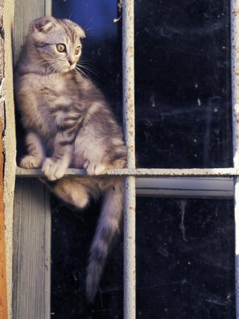 Scottish Fold Cat Balanced on Window Bar, Italy