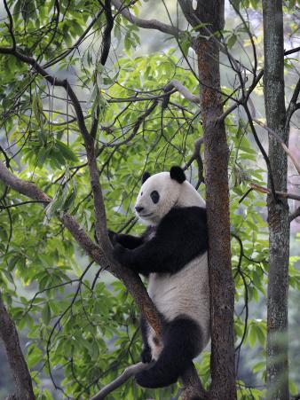 Giant Panda Climbing in a Tree Bifengxia Giant Panda Breeding and Conservation Center, China
