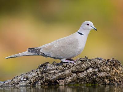 Collared Dove at Water's Edge, Alicante, Spain