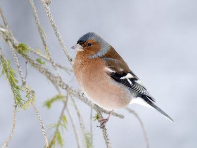 Chaffinch Perched in Pine Tree, Scotland, UK