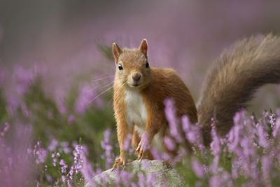 Red Squirrel (Sciurus Vulgaris) in Flowering Heather. Inshriach Forest, Scotland, UK, September