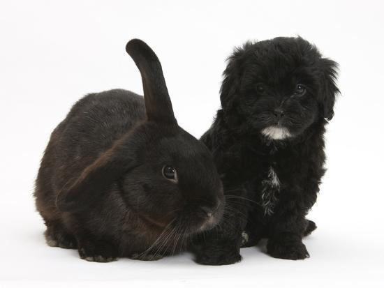 Black Pooshi Poodle X Shih Tzu Puppy With Black Rabbit