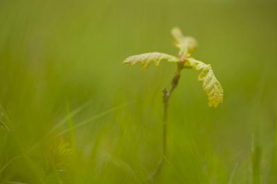 Young Oak Sapling (Quercus Robor). Brecon Beacons National Park, Wales, UK, February