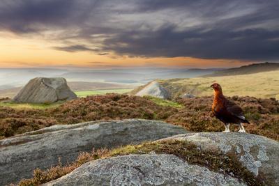 Red Grouse (Lagopus Lagopus Scoticus) on Heather Moorland, Peak District Np, UK, September