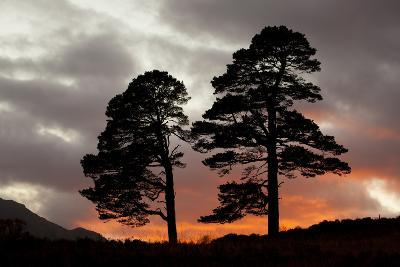Two Scots Pine Trees (Pinus Sylvestris) Silhouetted at Sunset, Glen Affric, Scotland, UK