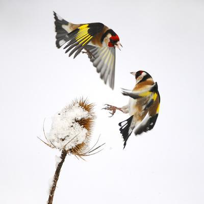 Goldfinches (Carduelis Carduelis) Squabbling over Teasel Seeds in Winter. Cambridgeshire, UK