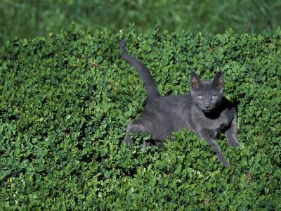 Russian Blue Cat Lying on Plants in a Garden, Italy