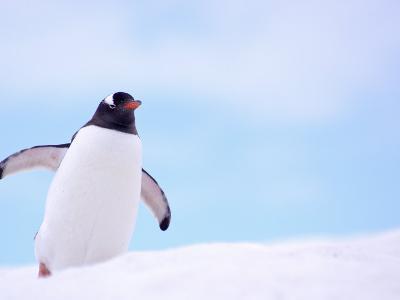 Gentoo Penguin on Snowline, Antarctica