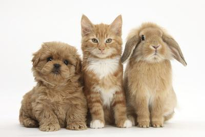 Peekapoo (Pekingese X Poodle) Puppy, Ginger Kitten and Sandy Lop Rabbit, Sitting Together