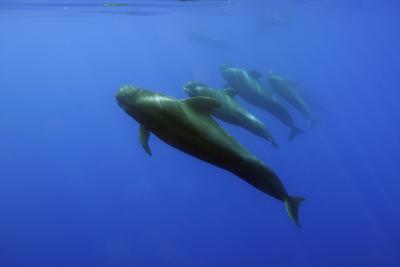 Four Short Finned Pilot Whales (Globicephala Macrorhynchus) in a Line, Pico, Azores, Portugal, June