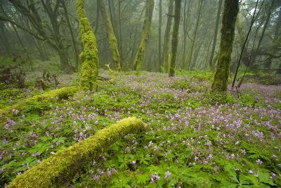 Laurisilva Forests, Azores Laurel and Flowering (Geranium Canariensis) Garajonay Np, Canary Islands