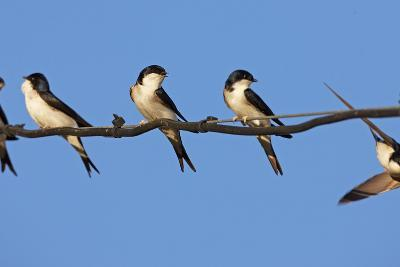 House Martins (Delichon Urbicum) Perched on Wire, with Another in Flight, Extremadura, Spain, April