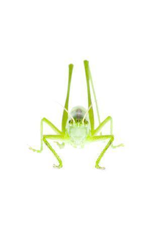 Male Great Green Bush Cricket (Tettigonia Viridissima) Fliess, Naturpark Kaunergrat, Tirol, Austria