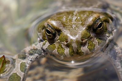Male European Green Toad (Bufo Viridis), Adylsu Valley, Baksan Valley and Elbrus, Caucasus, Russia