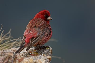 Old Male Great Rosefinch (Carpodacus Rubicilla) on Rock, Mount Cheget, Caucasus, Russia, June 2008