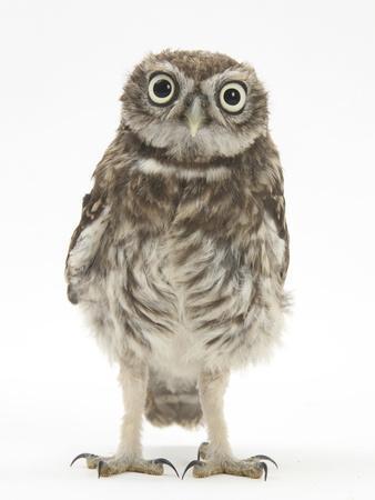 Portrait of a Young Little Owl (Athene Noctua)