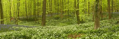Wild Garlic (Allium Ursinum) and Bluebell (Endymion Non-Scriptum) in Beech Wood, Hallerbos, Belgium