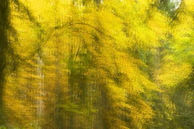 Abstract Autumn in Corkova Uvala, Forest with Silver Fir, European Beech and Spruce Trees, Croatia