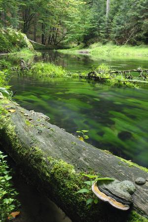 Bracket Fungus (Phellinus Sp) on Fallen Dead Tree Trunk Beside Krinice River, Kyov, Czech Republic