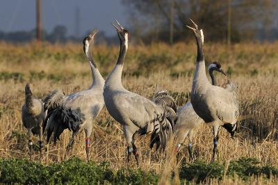 Common - Eurasian Cranes (Grus Grus) Juveniles Calling in Barley Stubble Field at Dawn,Somerset, UK